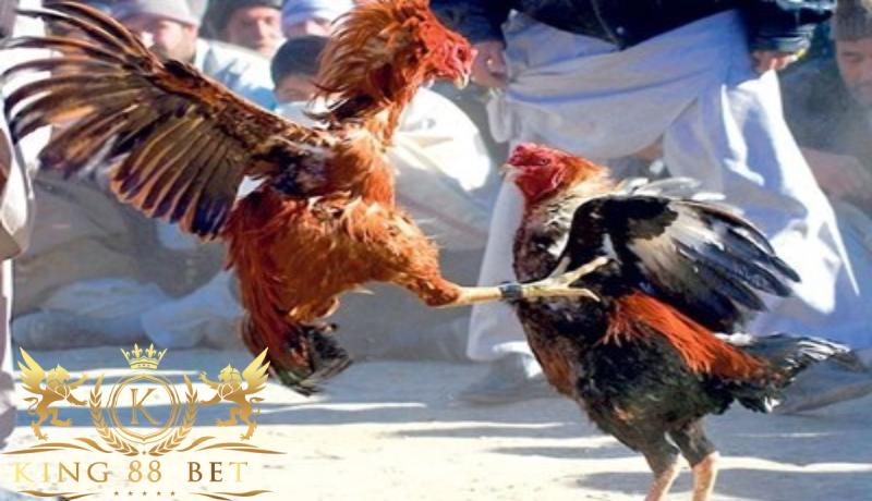 Agen Sabung Ayam Terbaik