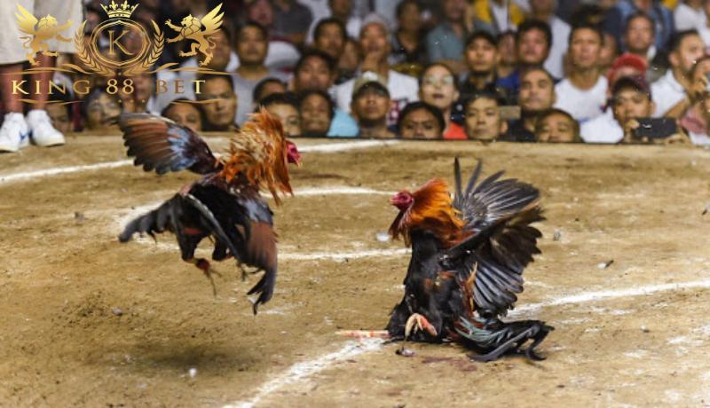 Bandar Sabung Ayam Terbesar