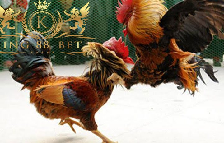 Situs Sabung Ayam Terbaik