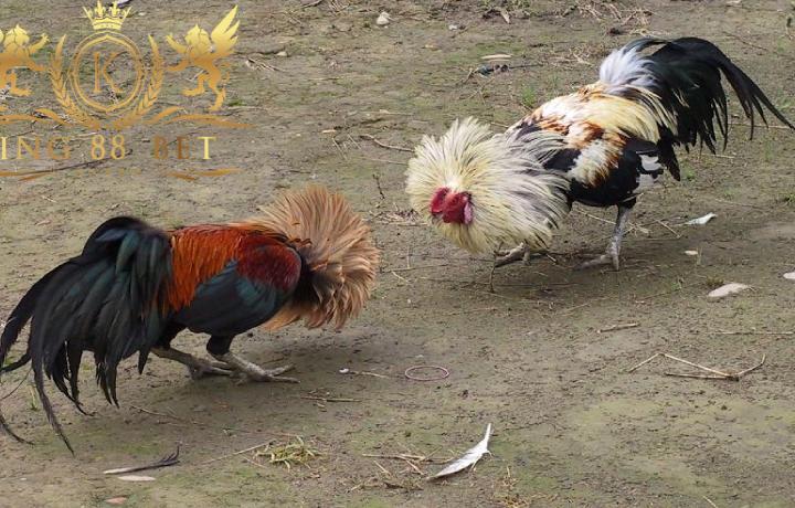 bandar sabung ayam terpercaya