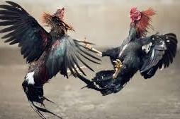 bandar ayam terpopuler